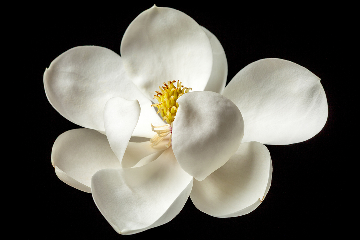 Magnolia Flower White Magnolias Floral Tree Flowers Duff The Psych